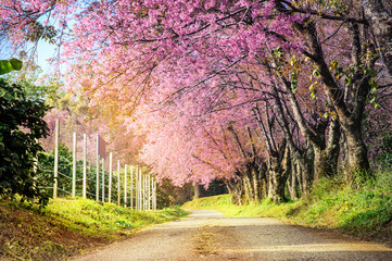 beautiful view big tree of pink cherry blossom at khun wang national park at chiang mai in thailand