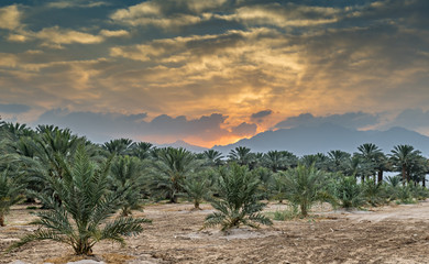 Young plants and plantation of date palms. Image depicts advanced tropical agriculture in the Middle East