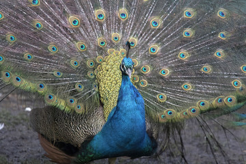 Headshot of a beautiful peacock with raised feathers
