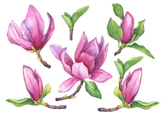 Set of blooming purple magnolia liliiflora (also called mulan magnolia) with flowers and leaves. Botanical watercolor hand drawn painting illustration, isolated on white background.