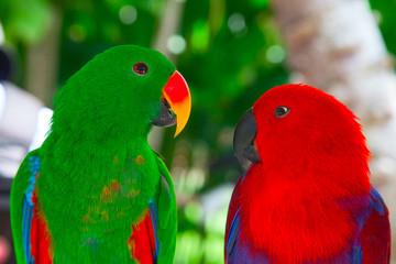 Lori parrots