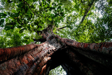 below view of huge millenary tree in the untouched sumatra rainforest