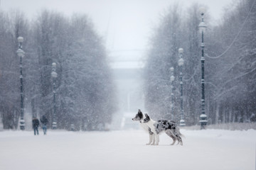 two dogs together, love and friendship. border collie on nature in winter