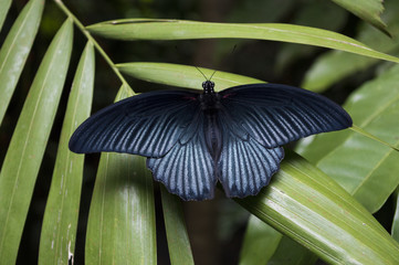 Closeup of a dark butterfly on a green leaf in a jungle
