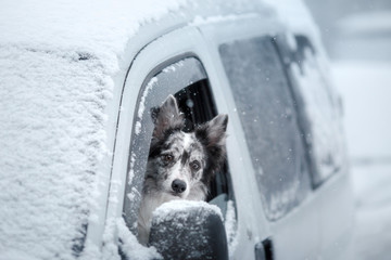The dog looks out of the car window. Winter mood. Border Collie.