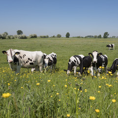 black and white cows come close to yellow spring flowers in dutch green grassy meadowunder blue sky on sunny day in the netherlands