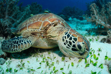 Feeding sea turtle / Sea turtle is eating spoon sea grass on a sandy bottom, Balicasag island, Philippines