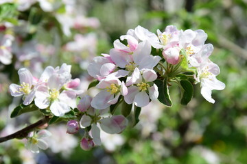 Apfelblüten, Blütezeit in Südtirol
