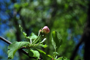 Apple tree pink bud close up on blurry background
