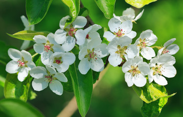 branch of pear blossom
