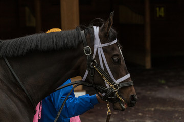 Dark brown horse being led