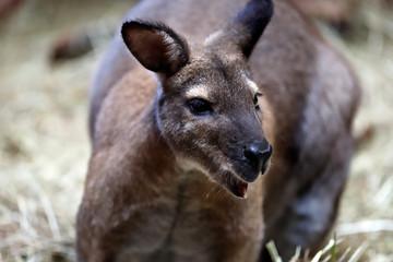 Portrait of australian kangaroo