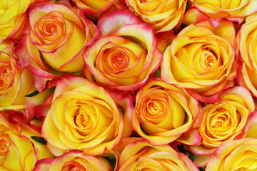 Background made of yellow and red roses
