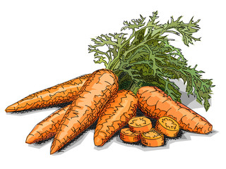 Vector illustration of drawing vegetable carrots.