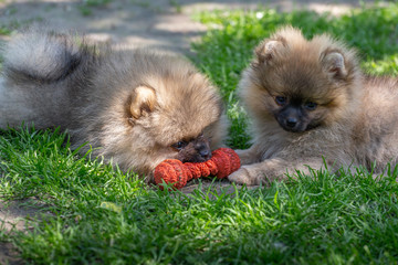 Two puppies pomeranian siblings and play in grass green background. Outdoor.