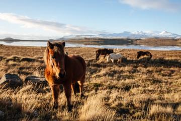 Icelandic horses in icelandic landscape. Autumn