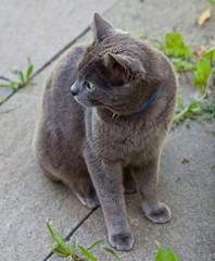 gatto certosino, animali, felino, grigio,