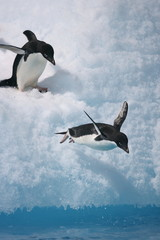 Adelie penguins leap into the sea
