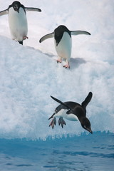 Adelie penguin leap into the sea from iceberg