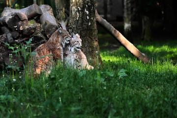 Paar Eurasian Lynxes