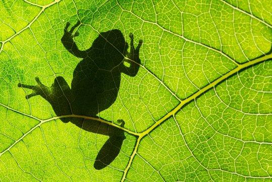 European green tree frog (Hyla arborea) on leaf in silhouette light