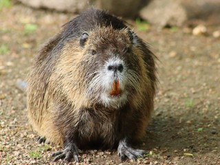 Portrait of a large coypu, also known as the nutria.rodenn
