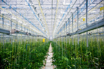 Rows of plants growing inside big industrial greenhouse.