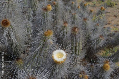 Flowering Cactus Spring In The Atacama Desert Stock Photo And