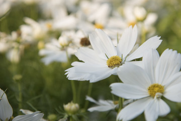 Close view of natural flower Cosmos