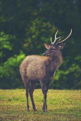 wild deer in forest, Khao Yai National Park, Thailand