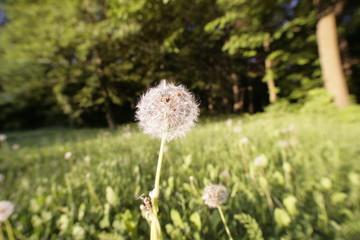flying flowers Dandelion Seed.