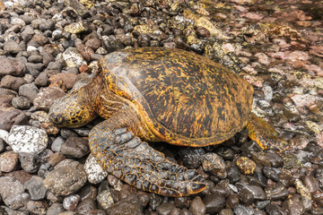 Green sea Turtle Resting on a Rocky Maui Beach
