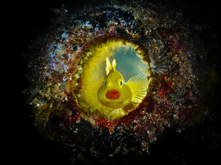 Yellow Goby Bottle Backlit
