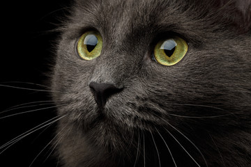 Closeup Portrait of Grey Mixed-breed Cat with Yellow eyes on Isolated Black Background
