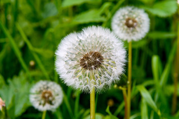White fluffy dandelion with seeds against a background of green grass.