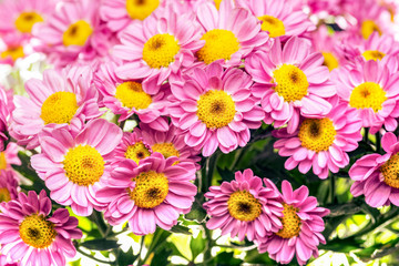 Chrysanthemum indicum, pink and yellow center, closeup macro, with lots of contrast and vibrand beautiful colors