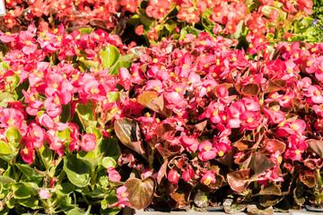 Begonia flower pots in a flower market
