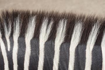Wall Murals Zebra zebra skin texture, wild animal