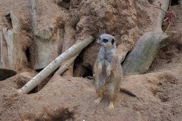 meerkat standing on sand and looking around