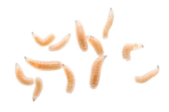 Maggot fly larva close up isolated on white background. Fishing bait.