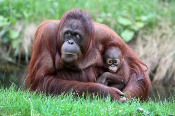 Orangutan mother with baby Fotomurales