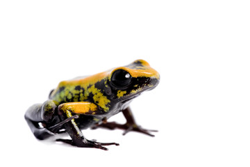 Black-legged poison froglet on white