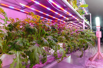 Hydroponics farm with plants cultivated with LED lights technology