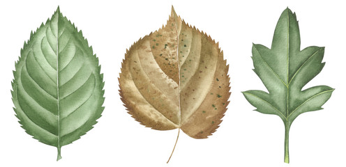 Hand drawn watercolor leaves set isolated on white. Set plants elements. green. watercolor style