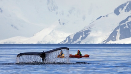 Papiers peints Antarctique Humpback whale tail with kayak, boat or ship, showing on the dive, Antarctic Peninsula, Antarctica