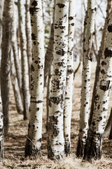 Birch tree trunks in a forest; white and black tree trunks in a wood with no leaves
