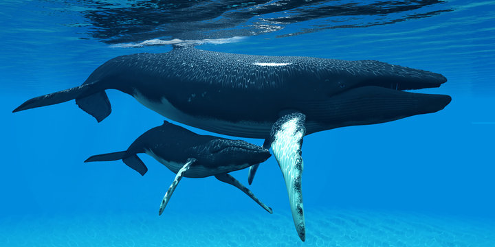 Mother and Baby Humpback Whales - A Humpback whale calf hides under his mother's belly for protection in a large ocean environment.