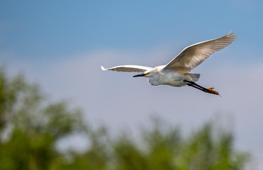A Snowy Egret in Flight with Blue Sky Background