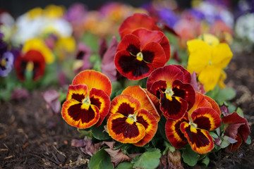 Maroon, Orange, Yellow, and Purple Pansy Flowers Blooming in a Flower Bed