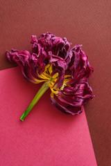 dried tulip closeup